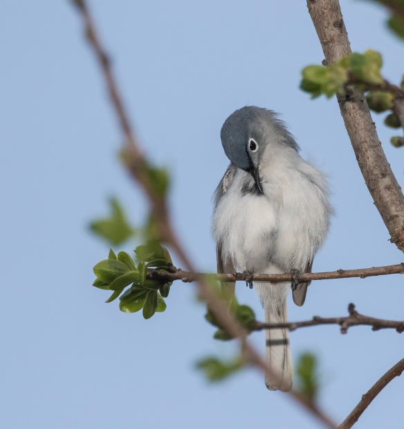 Blue-gray gnatcatcher preening
