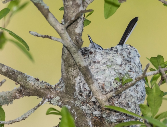 Blue-gray gnatcatcher pressing down in nest