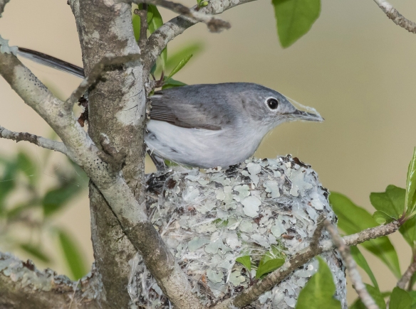 Blue-gray gnatcatcher with spider silk on bill