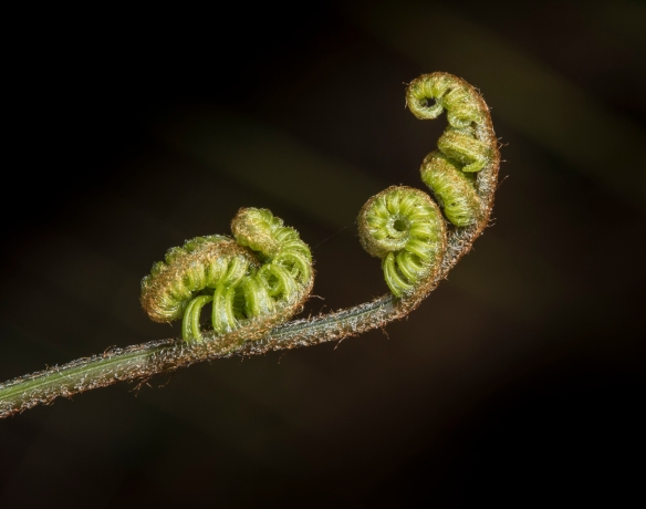 Bracken fern unfurling 1