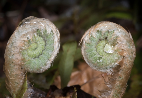 Christmas fern fiddlehead pair