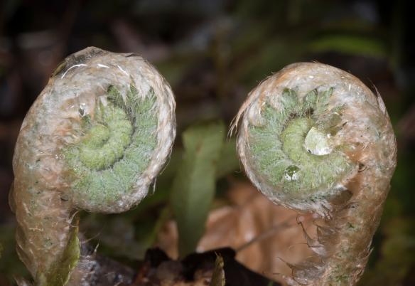 Christmas fern fiddlehead pair