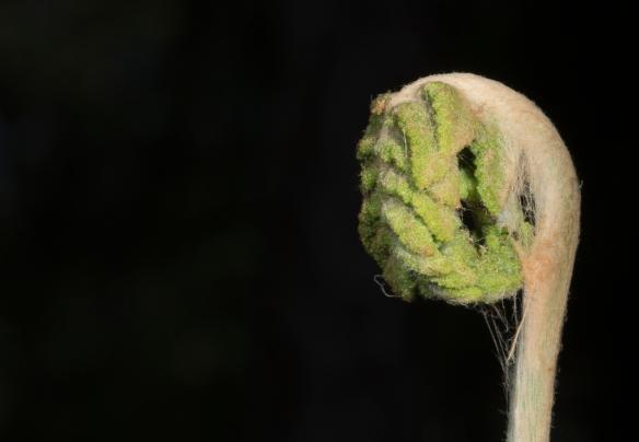 Cinnamon fern fiddlehead