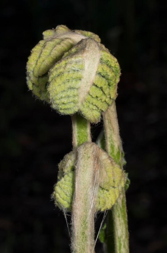Cinnamon fern unfurling 1