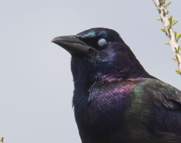 Common grackle showing nictitating membrane