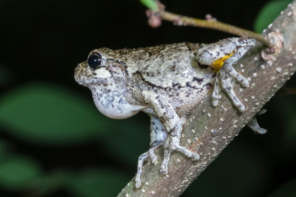 Gray Treefrog on limb