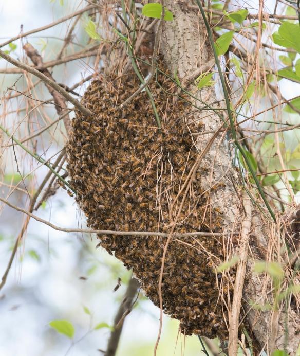 Honeybee swarm1