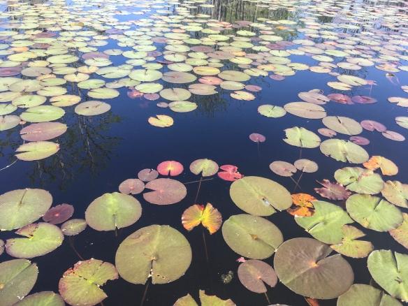 Lily pads on Horseshoe Lake