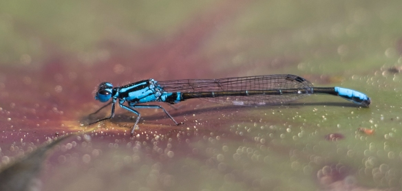 Lilypad forktail male