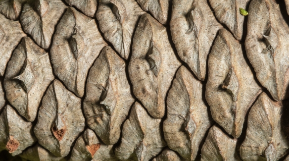 Loblolly pine cone close up