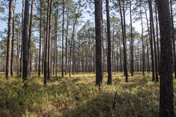 Longleaf pine savanna, Green Swamp