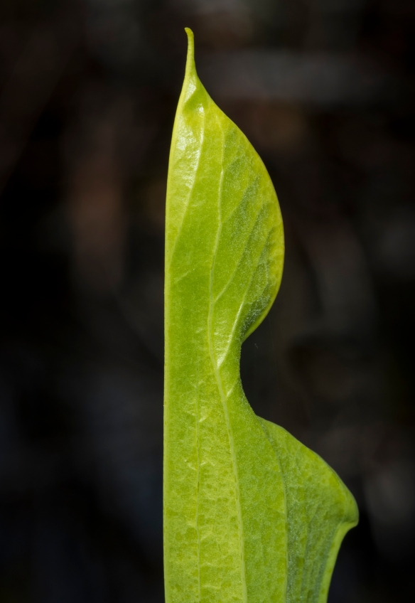 Pitcher plant leaf before opening