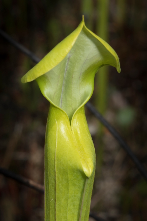 Pitcher plant opening