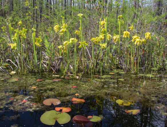 Pitcher plants along shoreline