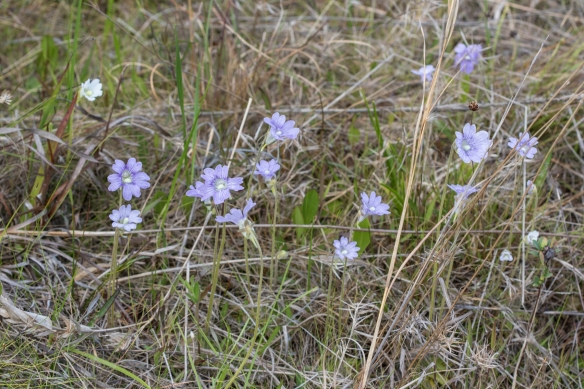 Purple butterwort group