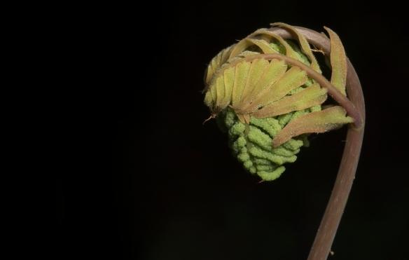 Royal fern unfurlng 1