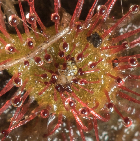 Sundew with prey