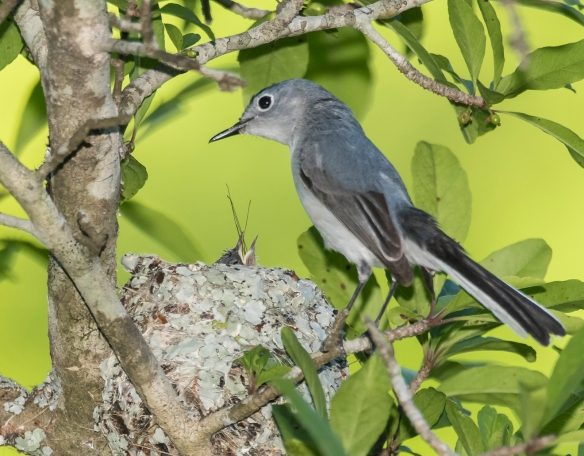 BG Gnatcatcher at nest