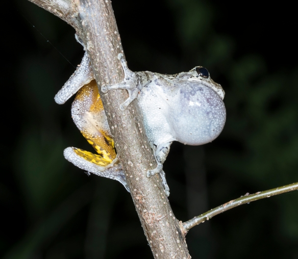 Gray treefrog calling on limb 1