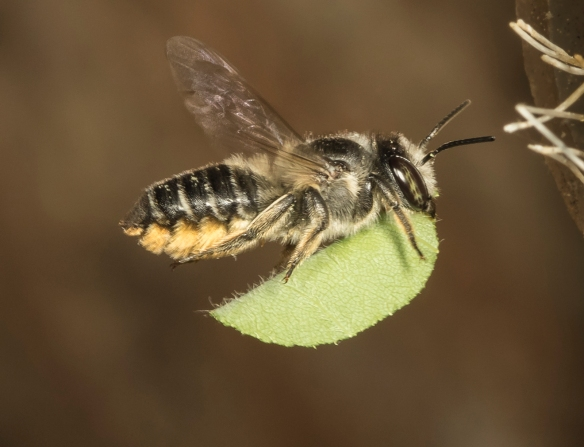 leafcutter bee bringing in leaf fragment