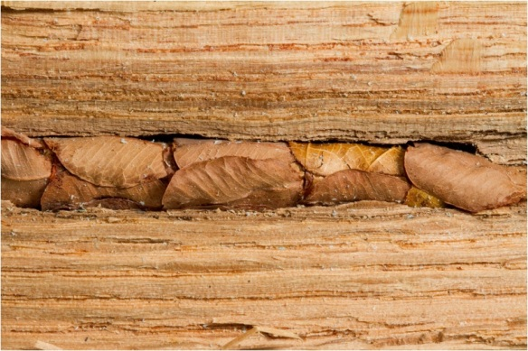 Leafcutter bee nest in hollow