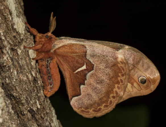 Tuliptree silk moth side view