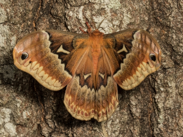 Tuliptree silk moth