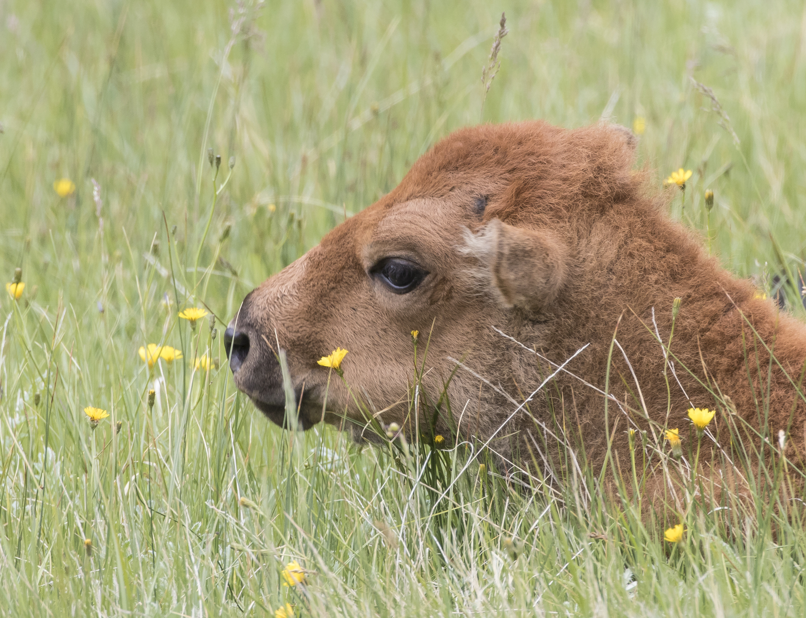 Baby bison head in flowers