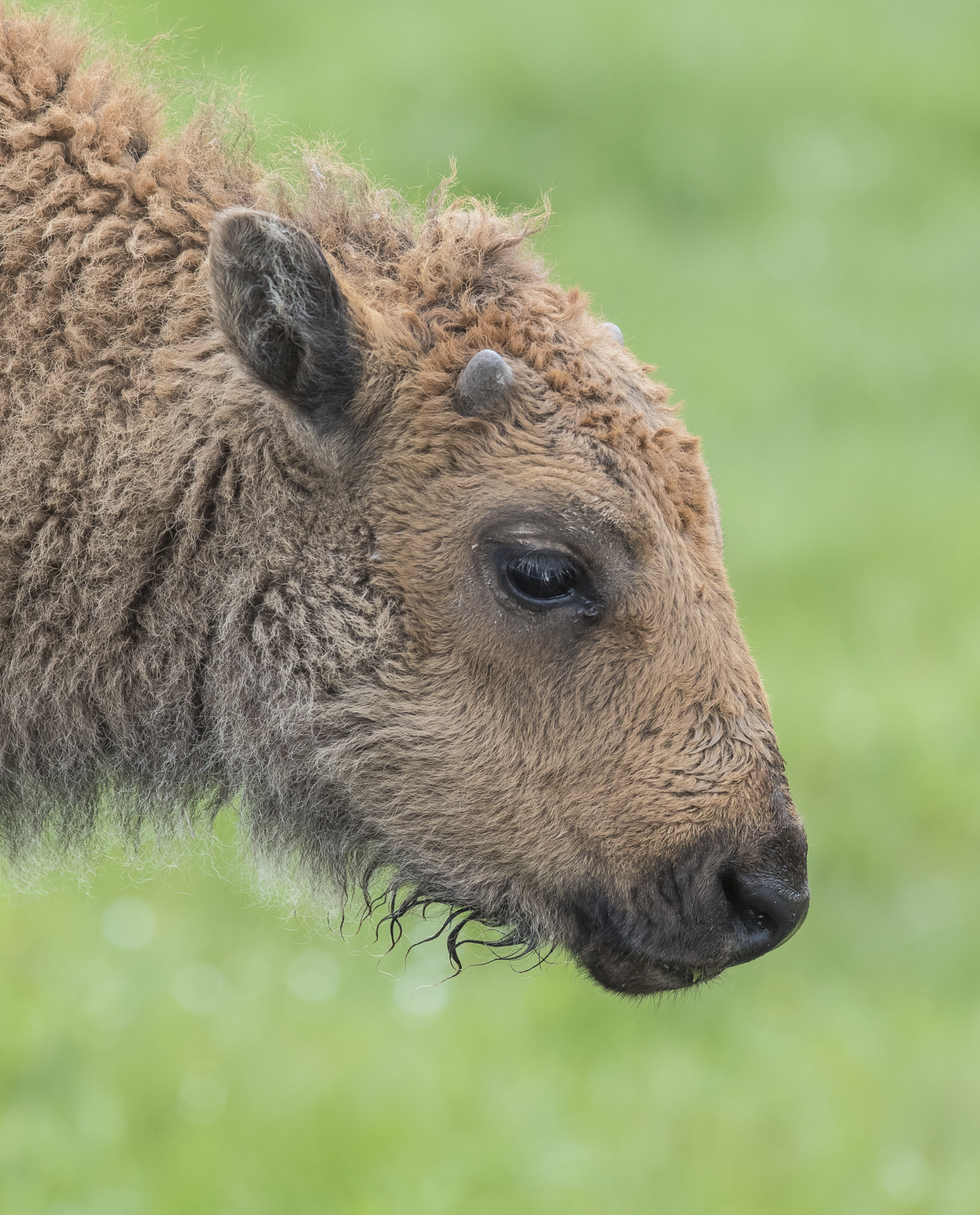 Baby bison head shot small horns showing 1
