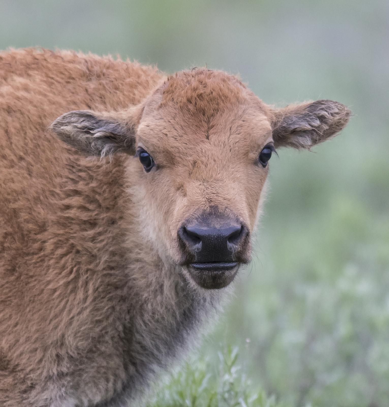 Baby bison head shot