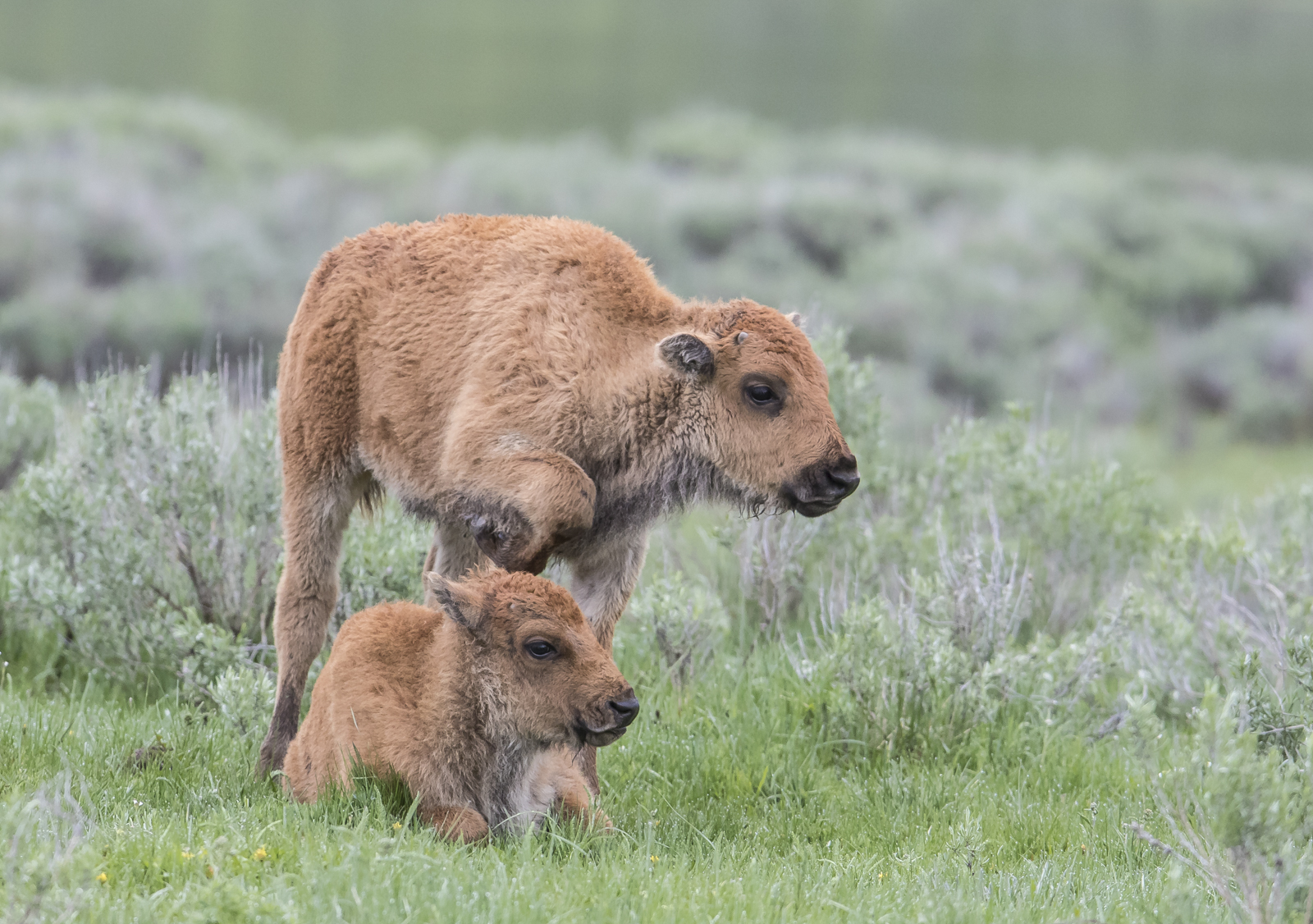 Baby bison trying to get another to play