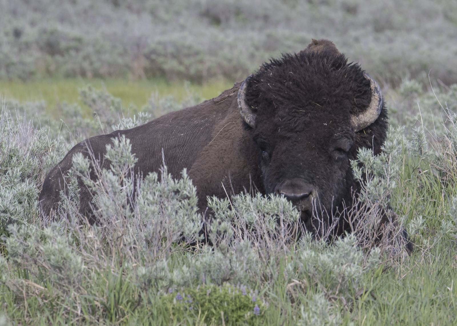 Bull bison laying down