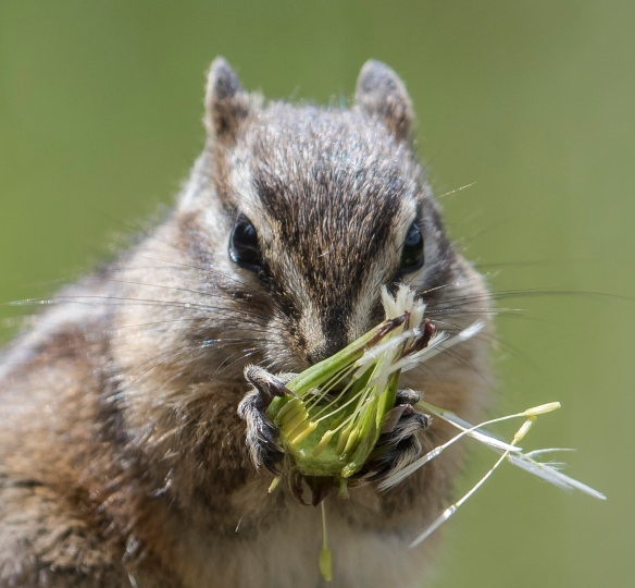 Chipmunk with dandelion seed head close up