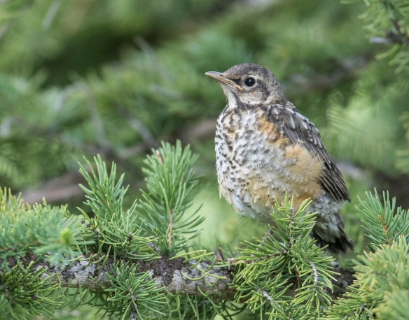 Fledgling American robin