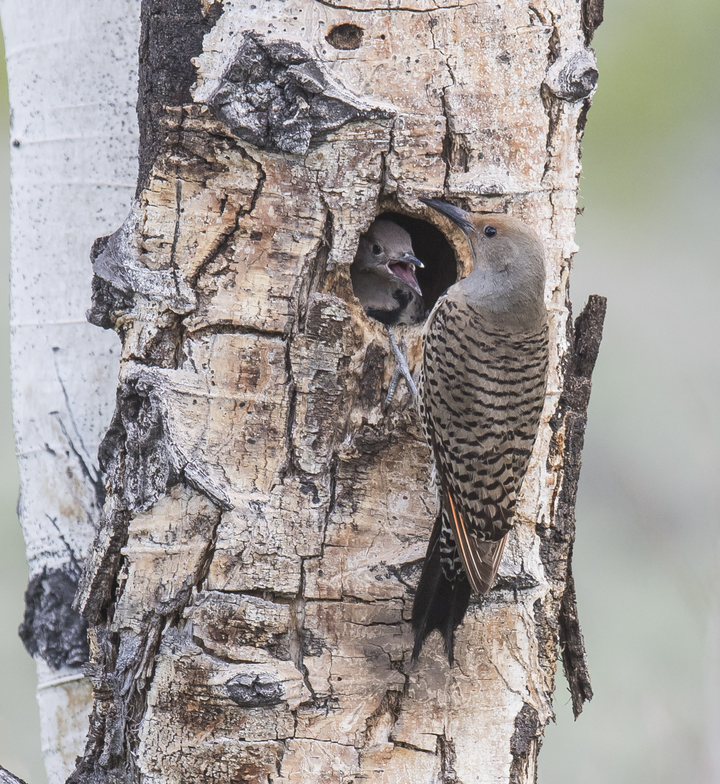Flicker at nest