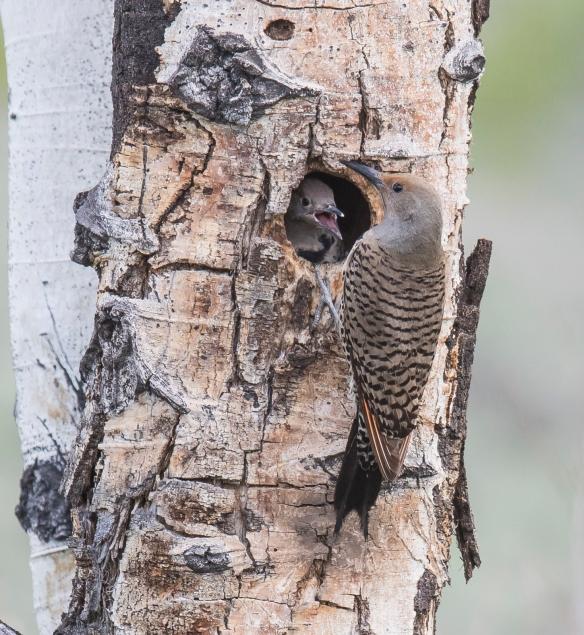 Flicker at nest