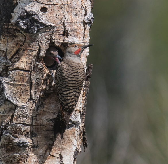 Flicker male at nest 1