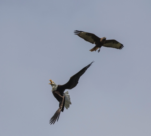Hawk attacking eagle