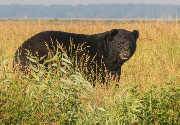 large bear on canal bank 1