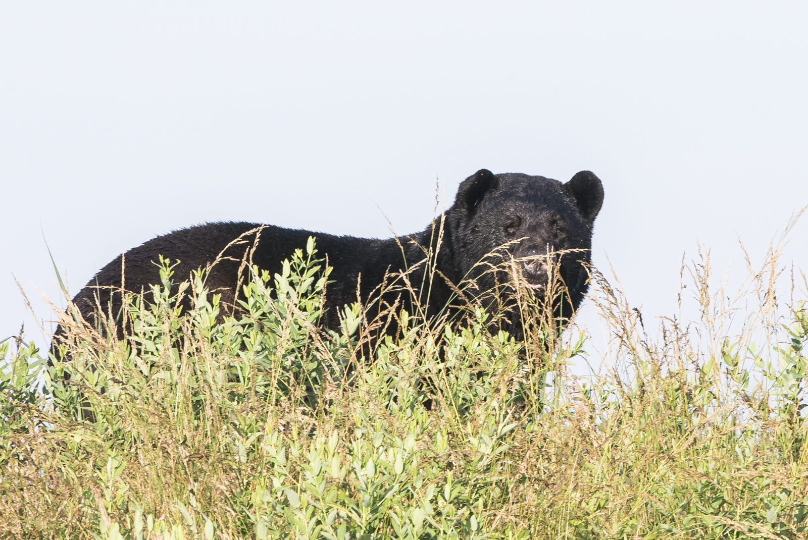 large bear on canal bank