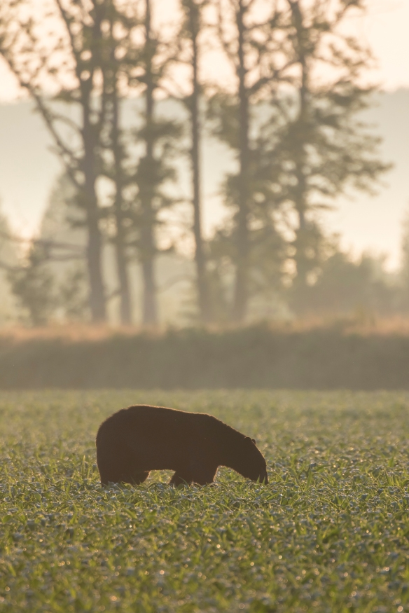 Large black bear at sunrise in soybeans