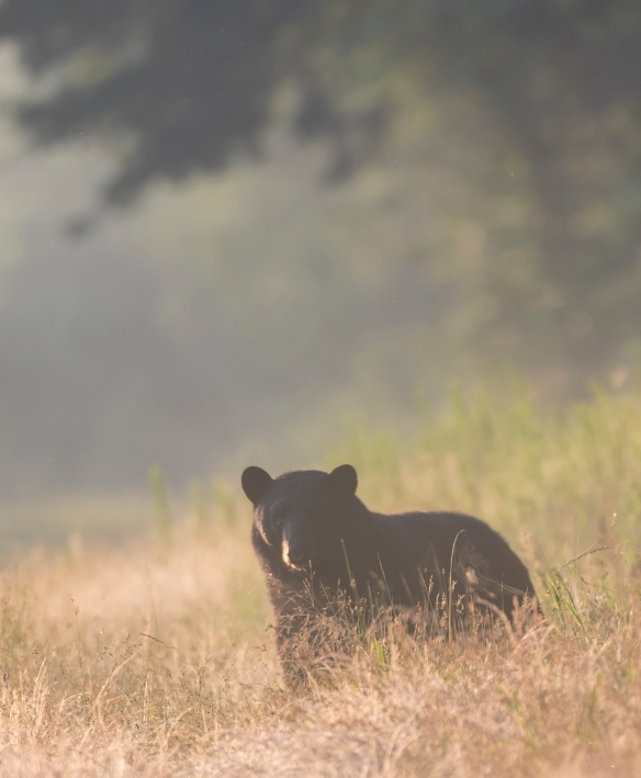 Large black bear at sunrise on new bear rd