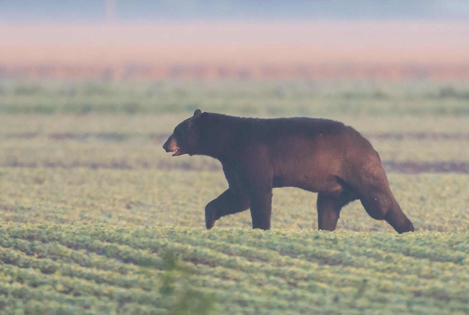 Large black bear at sunrise