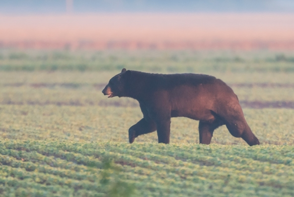 Large black bear at sunrise