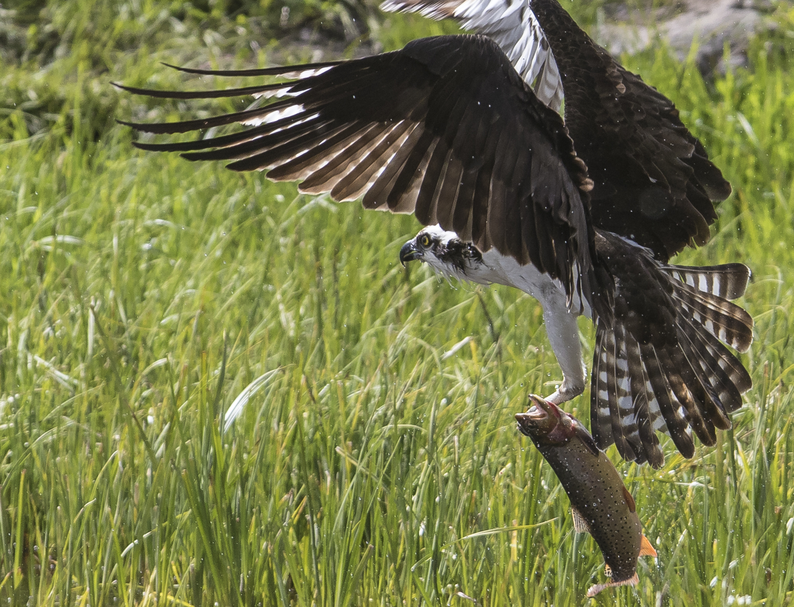 Osprey catching trout 1