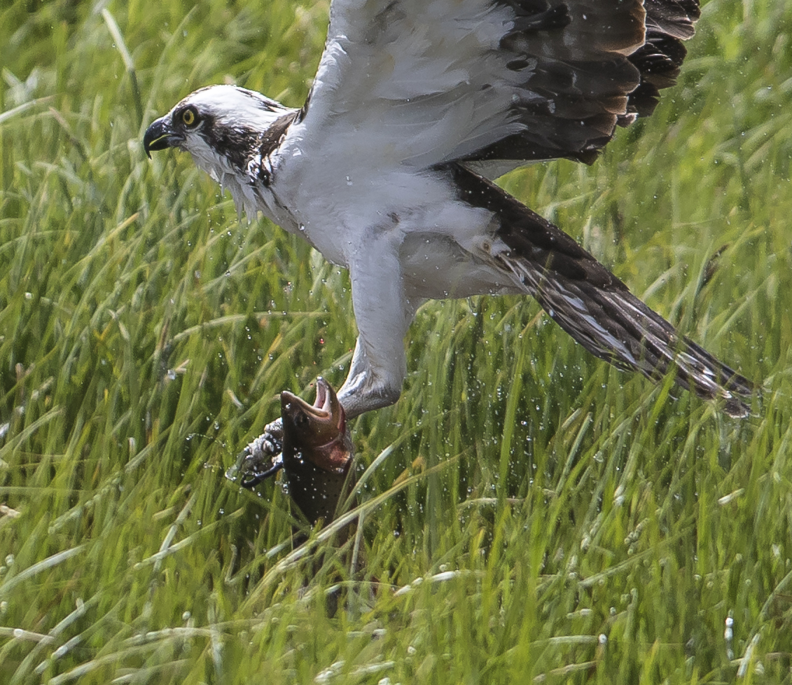 Osprey catching trout close up
