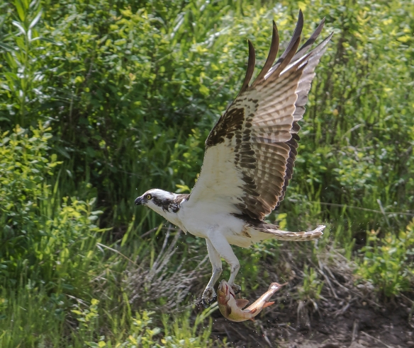 Osprey flying off with trout
