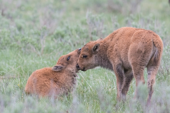 Pair of baby bison interacting