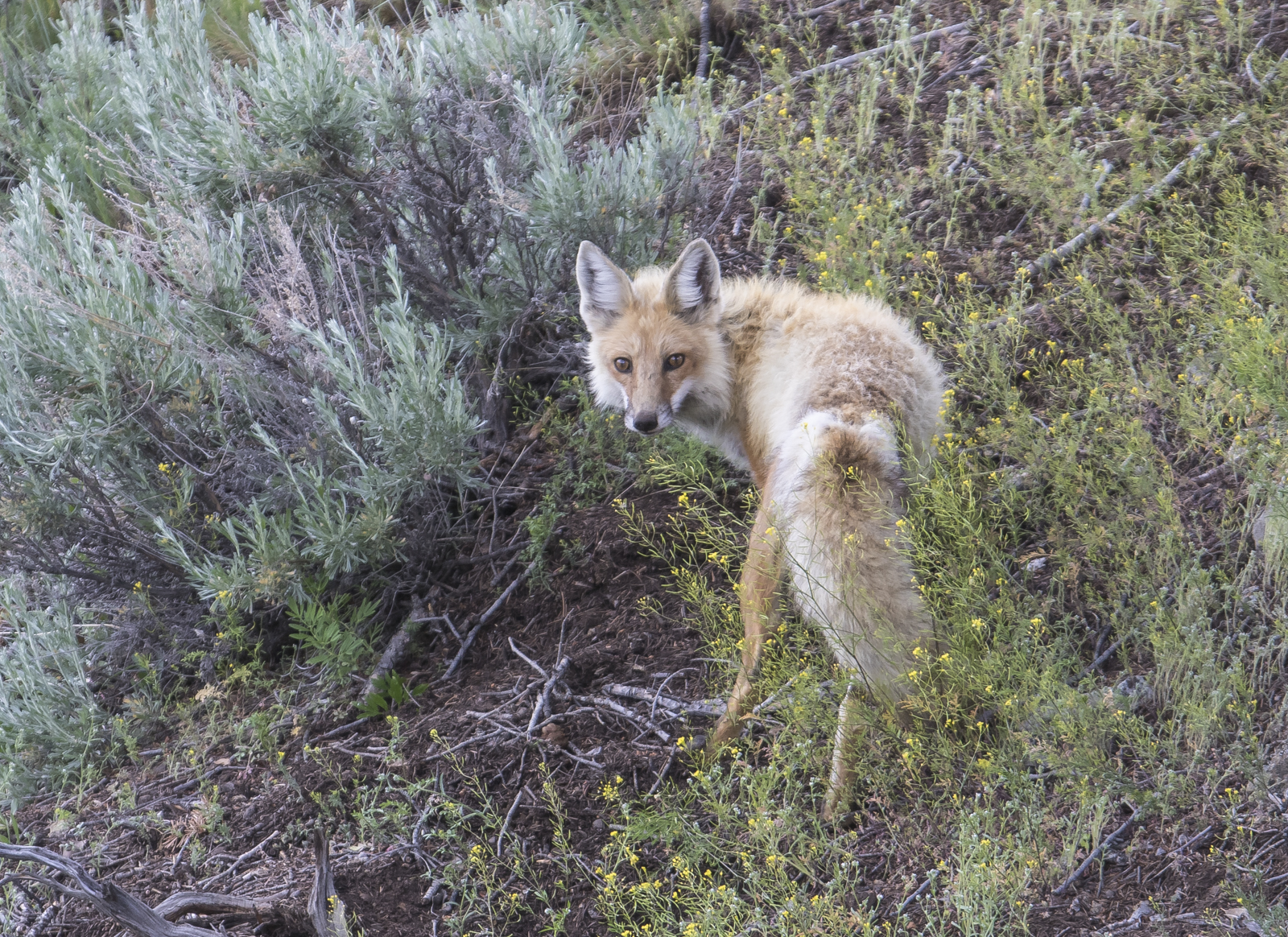 Red fox at Junction Butter