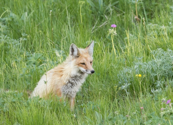 Red fox at YRPAT